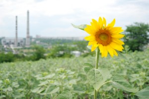Sunflower against industrial background