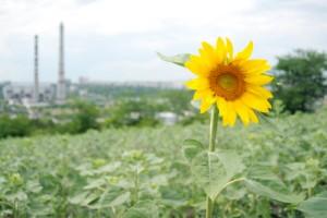 Sunflower against industrial background