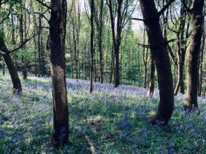 bluebell woods near bath